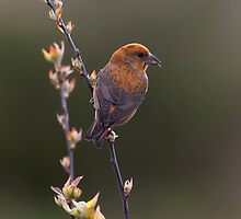 Red Crossbill by Martin Smart