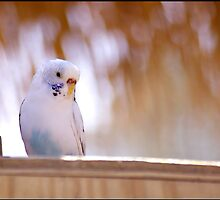 White Budgie by Lauren Neely