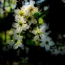 Hawthorn Blossom by Karen  Betts