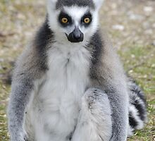 Lemur watching  by Eden Stanger