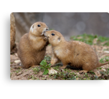 Kiss me Quick! (Black-Tailed Prairie Dogs) Canvas Print