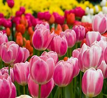 Wonderful tulips by dominiquelandau