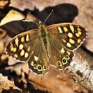 Speckled wood  by relayer51