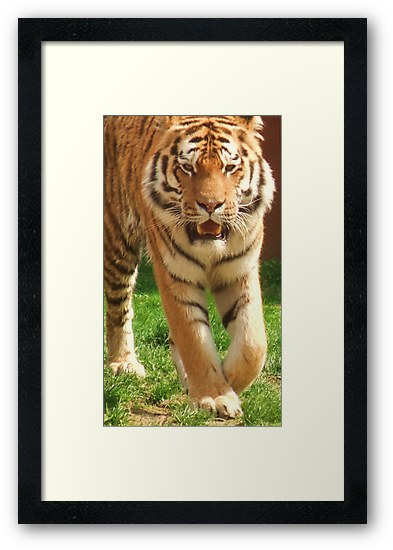 Tiger Prowling - Colchester Zoo by MichelleRees