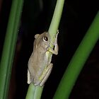 Florida Tropical Tree Frog at night by Rick Short