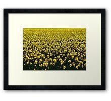 Daffodil Field Forever Framed Print