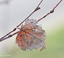 White birch leaf Betula papyrifera by pogomcl