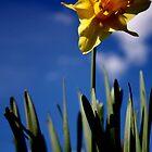 Single Daffodil in the Blue by Lynn Ede