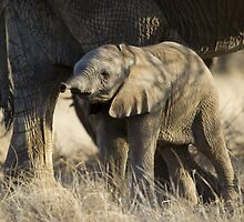 Samburu Elephant by Sue Earnshaw