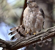 Tailspin/Coopers Hawk by Gary Fairhead