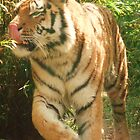 Tiger Licking His Lips !!!  at Colchester Zoo by MichelleRees
