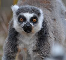 Hey Lemur! by ApeArt