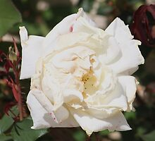 Face in the Rose... by DonnaMoore