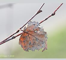 White birch leaf Betula papyrifera A by pogomcl