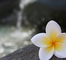 Frangipani on the Water's Edge by roskolewis