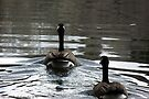 Swimming Away ~ Canada Geese by Jan  Tribe