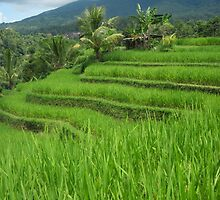 Rice Fields - Bali, Indonesia by Nupur Nag