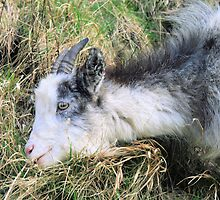 Mountain goat 2 by rhallam