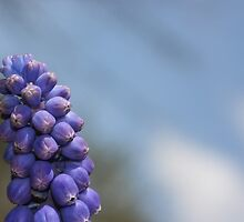 Grape Hyacinth on Sky by roskolewis