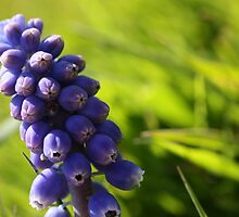 Grape Hyacinth on Grass by roskolewis