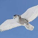 White On Blue / Snowy Owl by Gary Fairhead