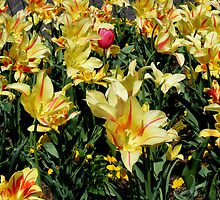 Hybrid Tulips in Yellow by barnsis