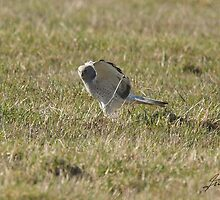 Male Northern Harrier KNEADS by DigitallyStill