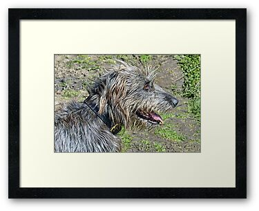 Gracie   Irish Wolfhound by lynn carter