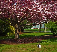 The Cherry Tree Has Bloomed by Anne Gitto