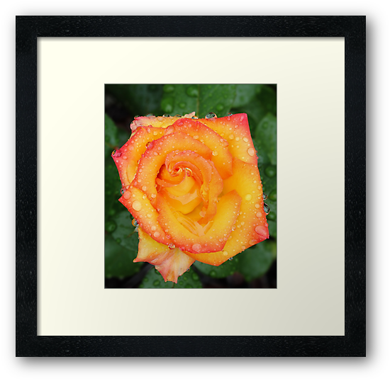 Orange red and yellow rose by bubblenjb