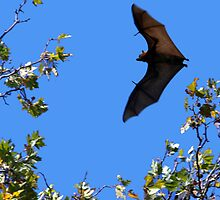 Grey Headed Flying Fox by Sarah Donoghue