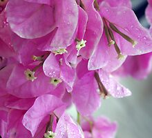 Bougainvillea by Rainy