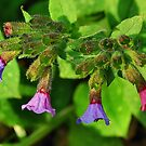 "Pulmonaria ""Lungwort"" by relayer51"