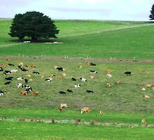 Dairy herd resting - South Purrumbete, Vic. by EdsMum