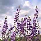 Beautiful Bush Lupine by John Butler
