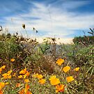 California Poppies by Karin  Hildebrand Lau