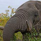 Elephant Close-Up by Aldi221