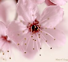 Cherry blossom cluster by pogomcl