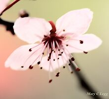 Transparent pink  cherry blossoms by pogomcl