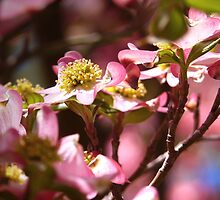 """""""The Luscious Pink Dogwood Tree"""" by franticflagwave"""
