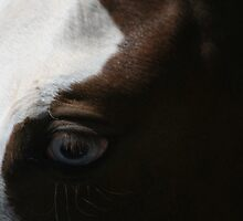 Horses eye - Blue eyes by saltbushbill