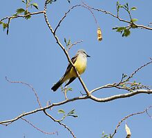 Western Kingbird ..... by DonnaMoore