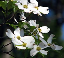 Virginia Dogwood by Leslie Wood