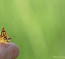 Chequered skipper, Carterocephalus palaemon, on photographer's finger by pogomcl
