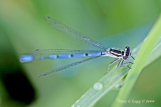 Male Azure Damselfly  coenagrion puella by pogomcl