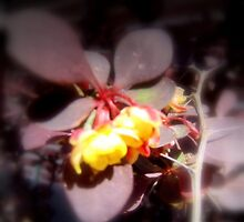 red japanese barberry flower macro by Dawna Morton