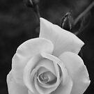 Rookwood Rose by Penelope Thomas