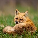 STOCK-Spring Fox by Jay Ryser