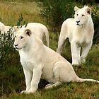 3 FRIENDS  (Young White Lions) by thula