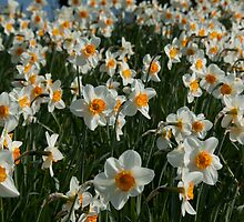 Plain and Simple: Just Daffodils by dave2k11
